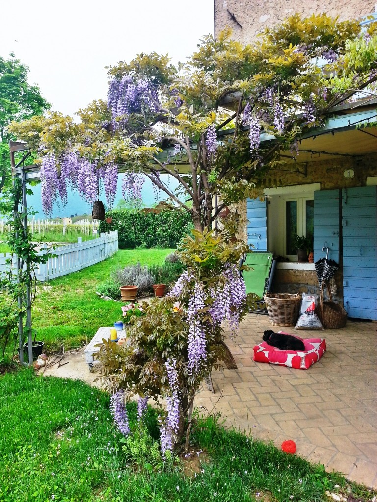 Wisteria that scented our room all night