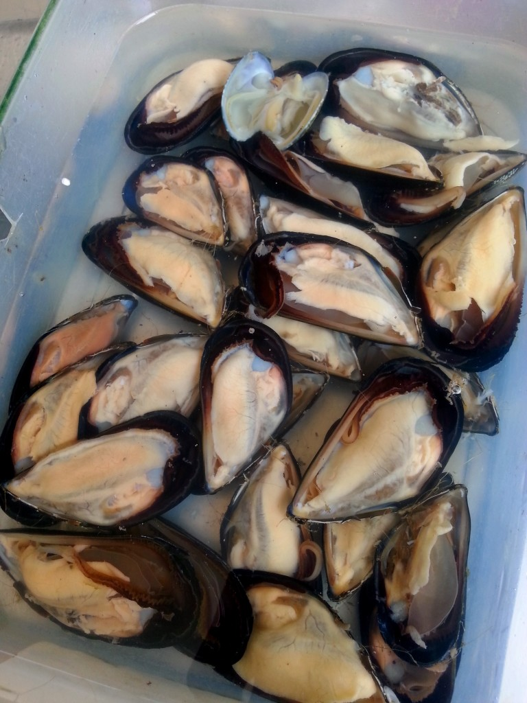 Incredible mussels just opened and brought home in sea water